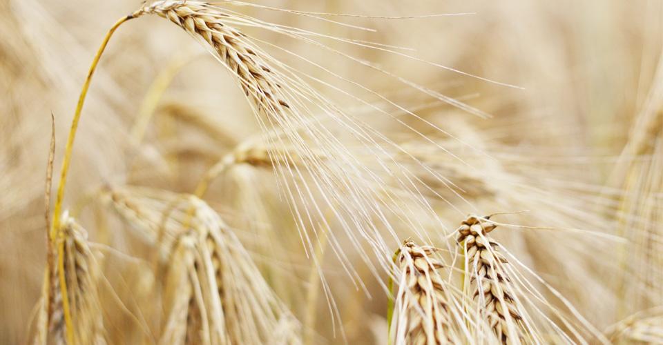 Barley slider (960x500pix)